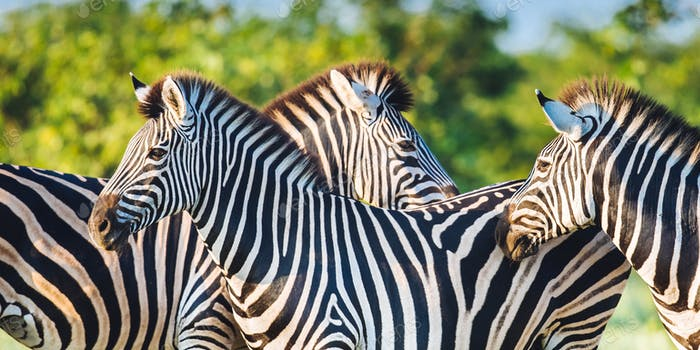 Three Common Zebra grooming in bright colors