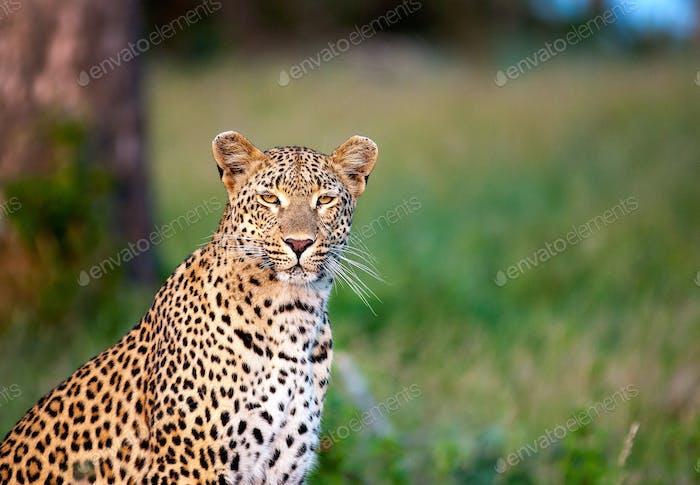 Ein Leopard, Panthera pardus, sitzt in grünem Gras, Alarm, Ohren nach vorne, gelbe Augen, weiße Schnurrhaare,
