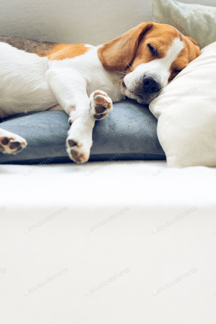 Beagle dog sleeping on a pillow on a sofa