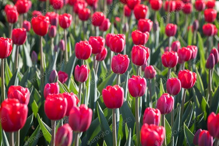 Field of beautiful blooming red tulips