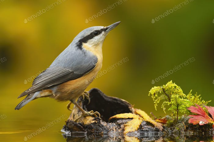 Little eurasian nuthatch sitting on wood in pond in autumn