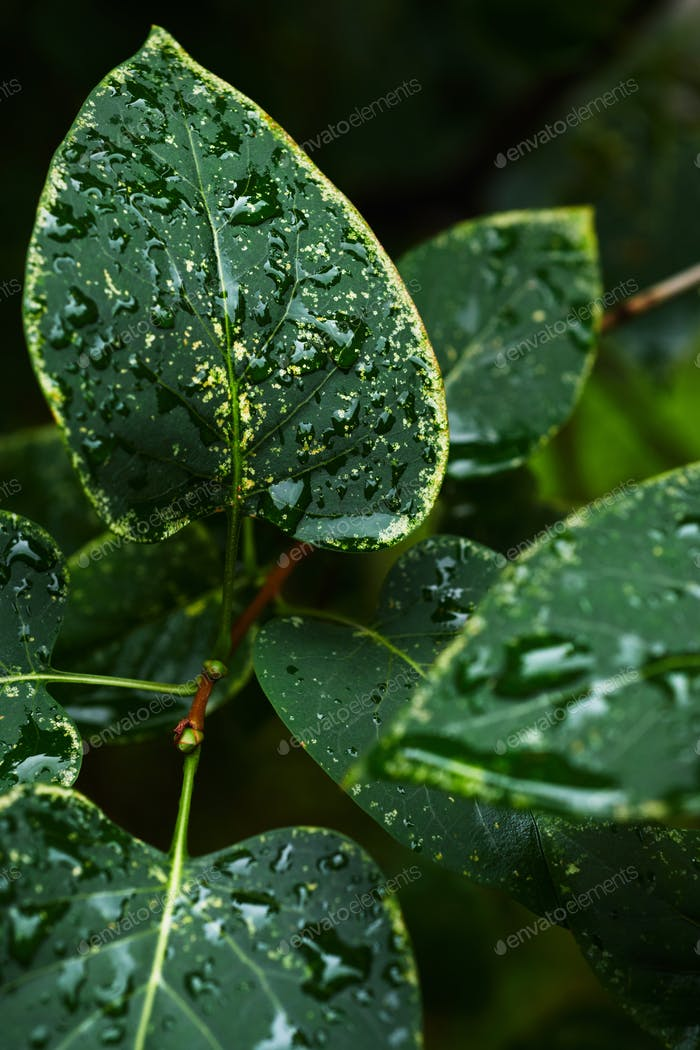 Wet leaves of bush