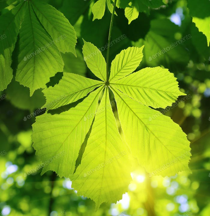Chestnut leaf and sunlight