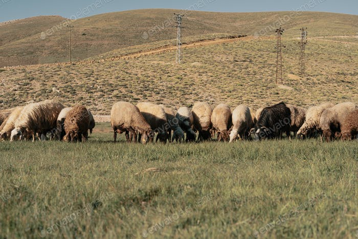 Sheep graze in the field at the foot of the mountain