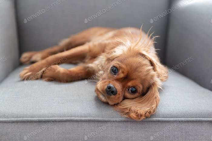 Cute puppy of cavalier king charles spaniel