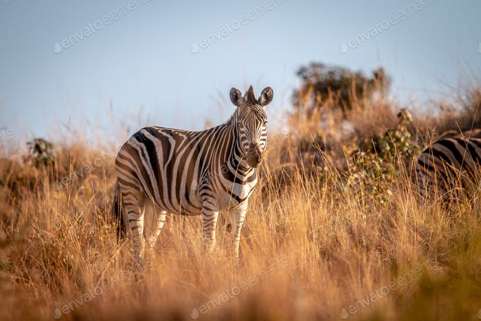 Zebra standing in the grass in the bush.