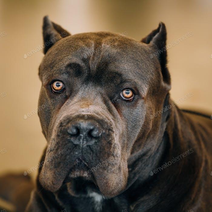 Cane Corso Hund Nahaufnahme Porträt