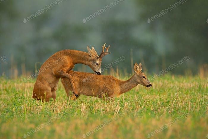Roe deer couple copulating in mating season