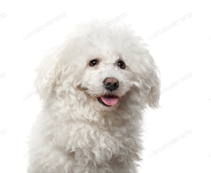 Maltese (4 years old) in front of a white background