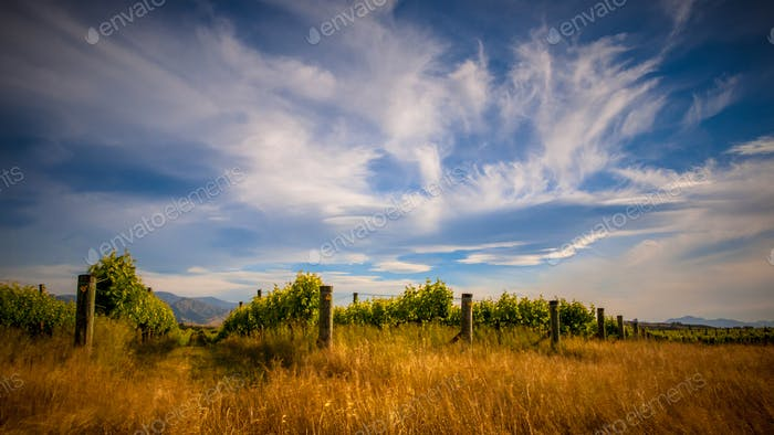 Organic Vineyard under dramatic cloudy sky