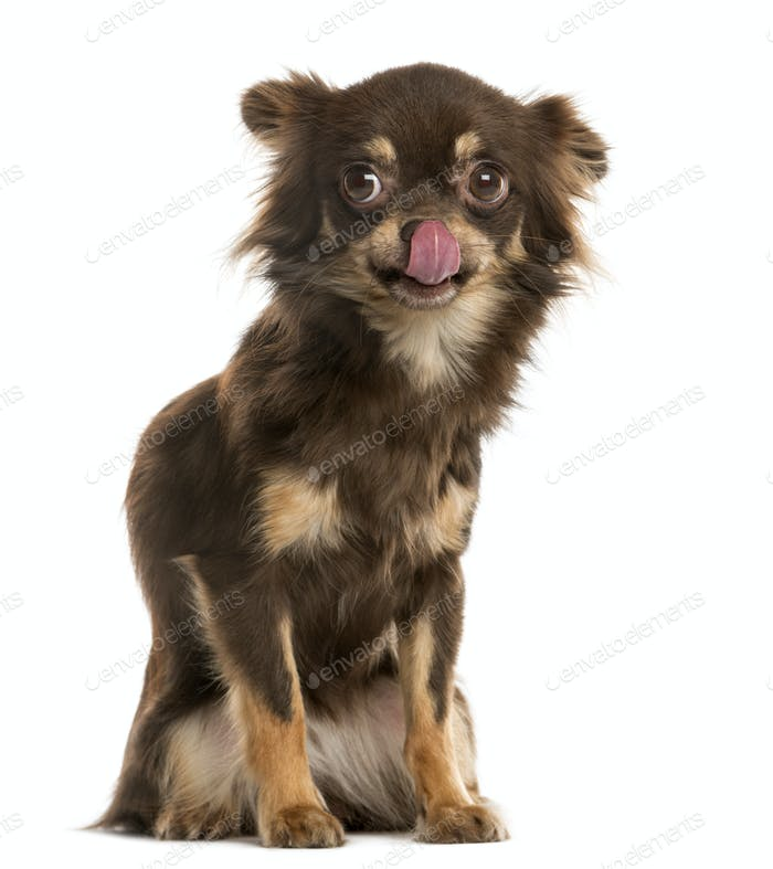 Chihuahua licking in front of a white background