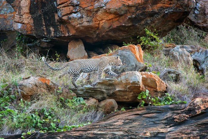 Leopard in National park of Kenya