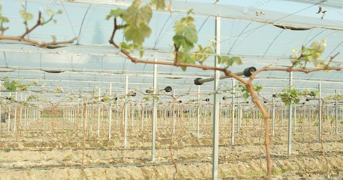 Grape fruit in farm