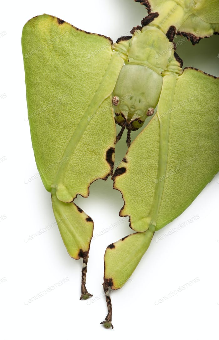 Phyllium giganteum, leaf insect walking leave, phyllidae, in front of white background