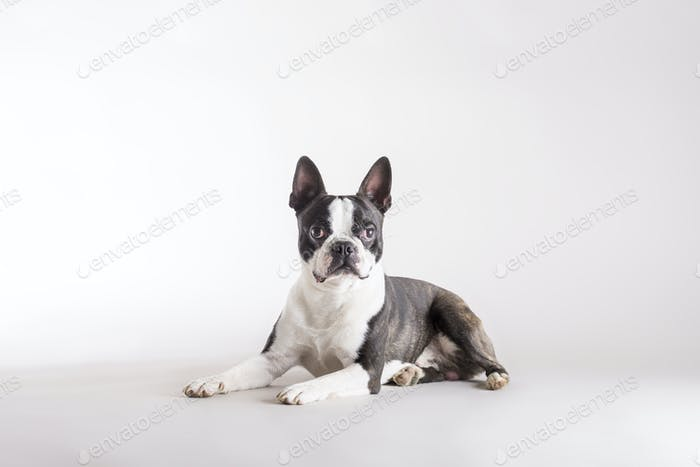 Alert Boston Terrier lying watching intently