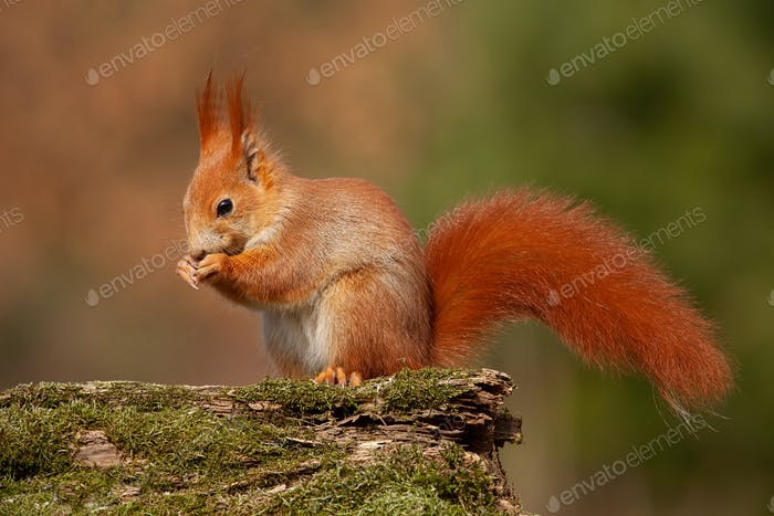 Eurasian red squirrel, sciurus vulgaris, in autumn forest in warm light