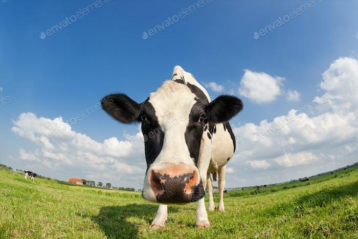 lustige Nahaufnahme Kuh auf grünem Gras Weide