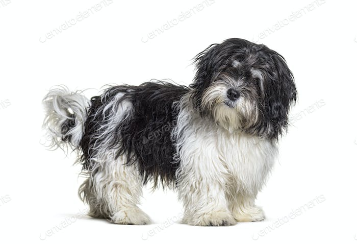 Mixed breed dog standing, isolated and looking at the camera
