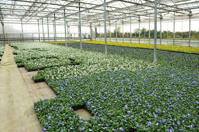 Violets cultivation in greenhouse