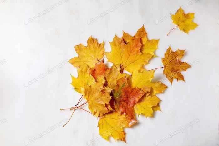 Yellow autumn maple leaves