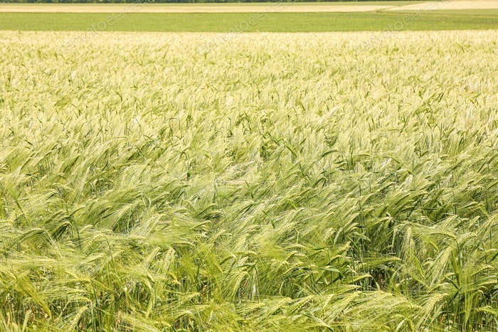 Green barley field, space for text. Agriculture