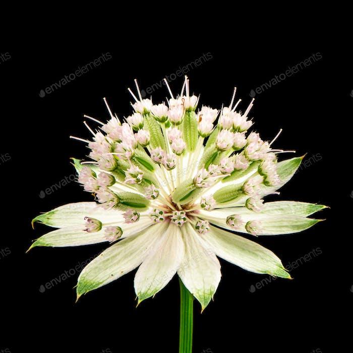 Blüte einer Meisterkraut Blume