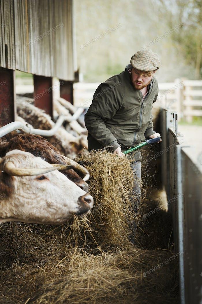 A farmer with a pitchfork of hay, feeding a row of longhorn cattle in a barn.