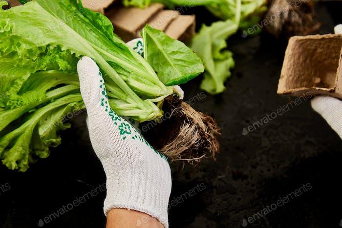 Hände des Gärtners legt Grüner in Torfbehälter mit Erde