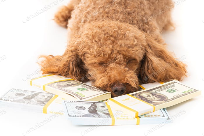 Apricot poodle with moey dollar bills  isolated on a white background