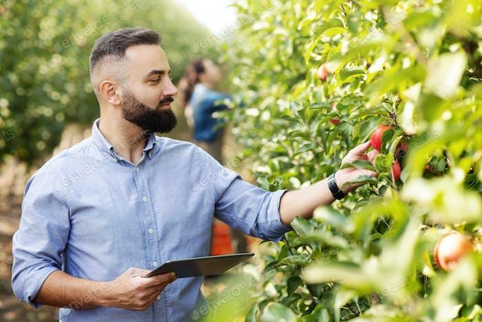 Agronom inspiziert Obstgarten und verwendet Tablette, ökologische Bio-Ernte und modernes Gerät