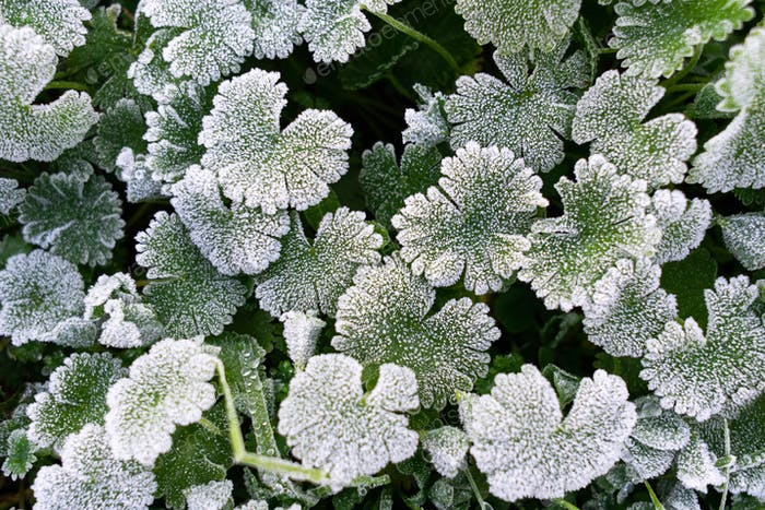 Green leaves covered with white hoar frost