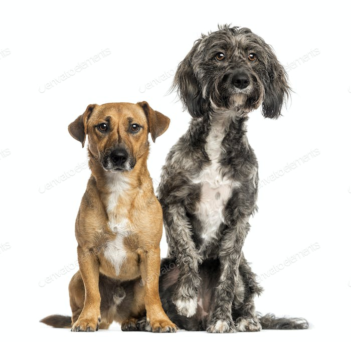 Brittany Briard crossbreed dog and jack russel sitting together, isolated on white