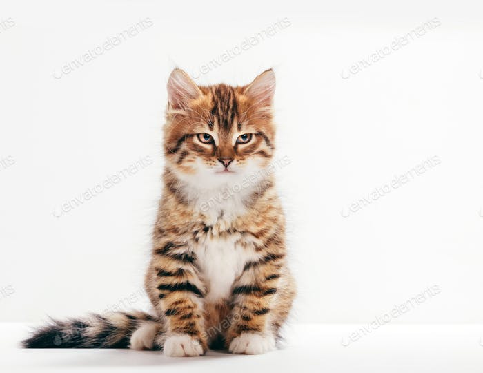 Siberian cat, a kitten portrait on white background.