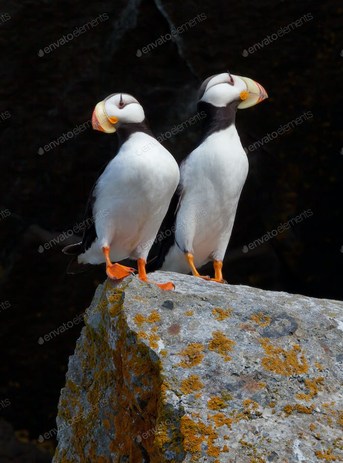 White-chested puffins, Fratercula corniculata, Horned puffins