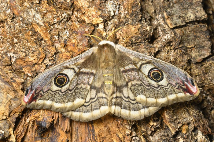 Female of Saturnia pavonia, the small emperor moth, camouflage on tree trunk and wing eye spots.