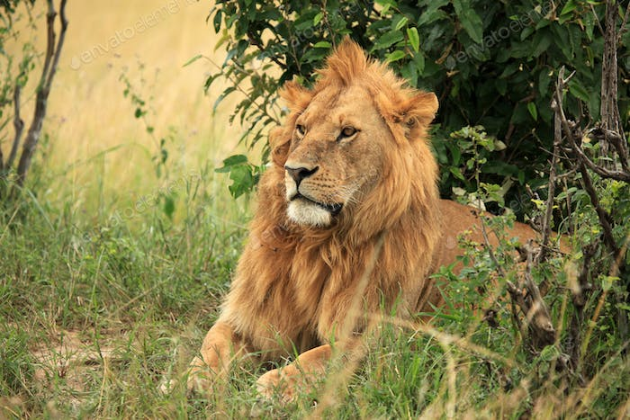 Male Lion - Kenya