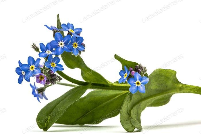 Hellblaue Blüten von Vergissmeinnicht (Myosotis arvensis), isolieren