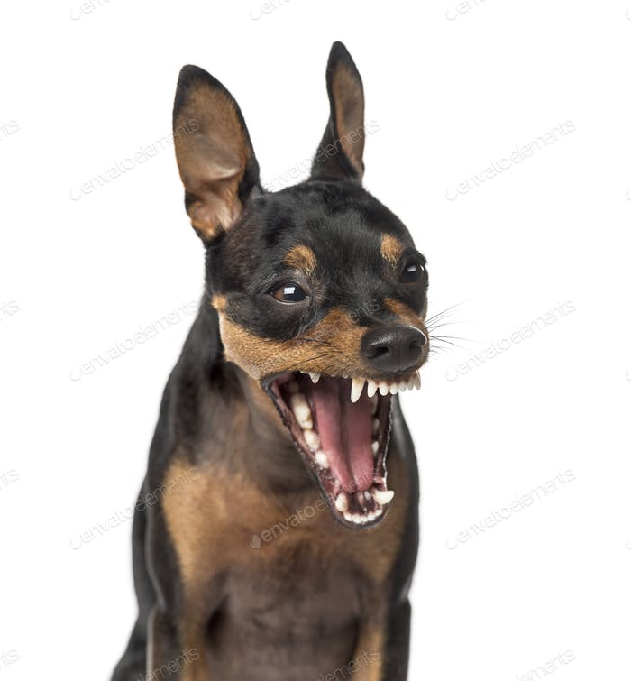 Close-up of a Miniature Pinscher barking,1 year old, isolated on white