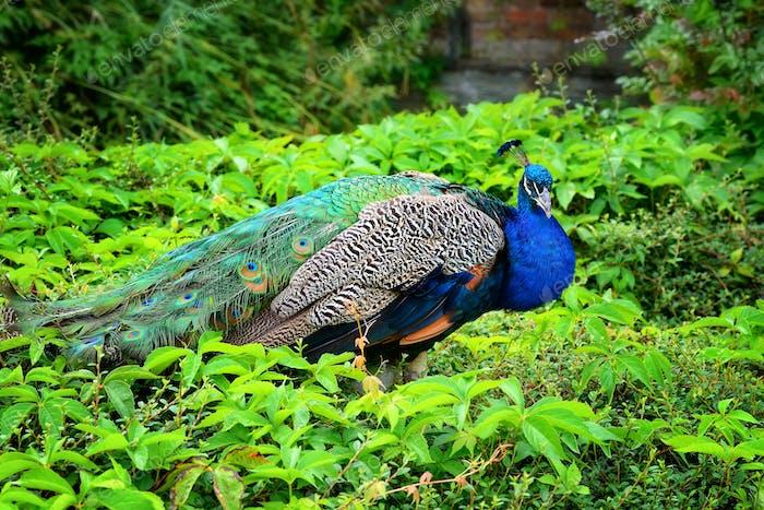 Peacock (Pavo Linnaeus). Male peacock. Portrait of a beautiful p
