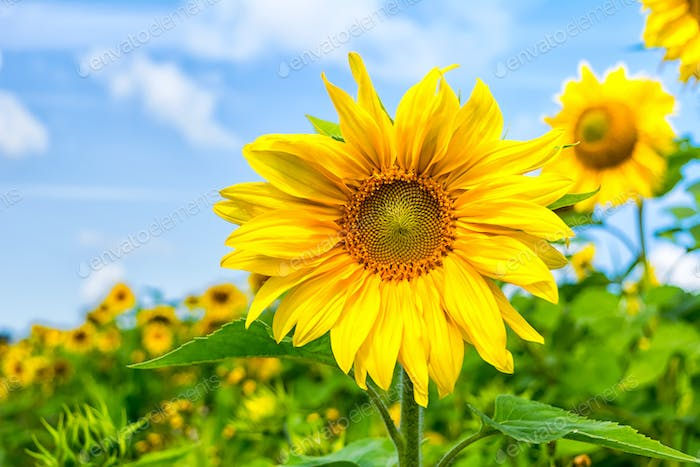 Healthy eating concept with yellow sunflowers field