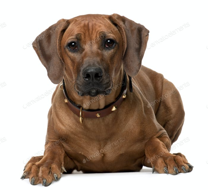 Rhodesian Ridgeback puppy, 7 months old, lying in front of white background