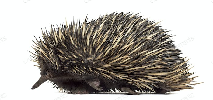 Short-beaked echidna isolated on white