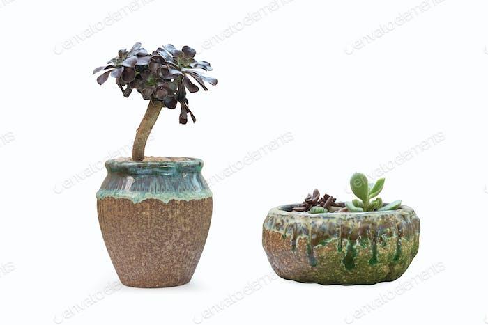 succulent plant in flowerpot