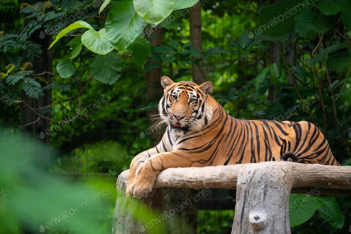 bengal tiger lying  down
