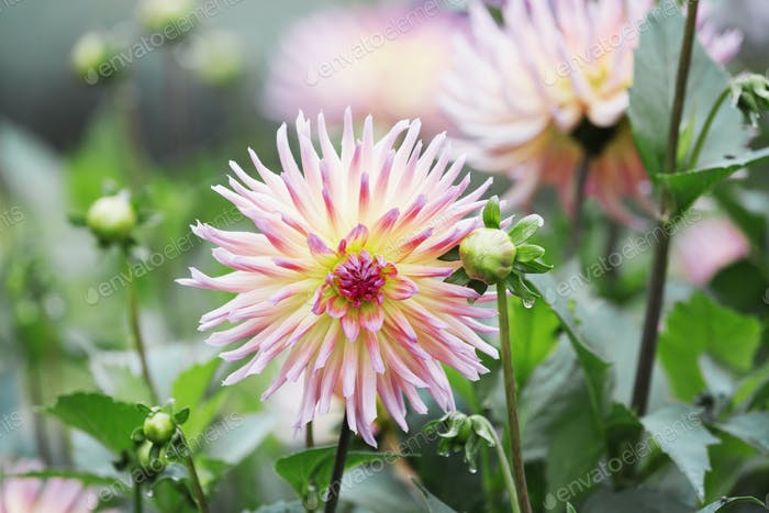 Pink dahlia flower head.