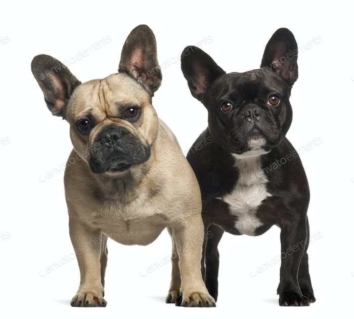 French bulldogs, 3 years old, standing against white background
