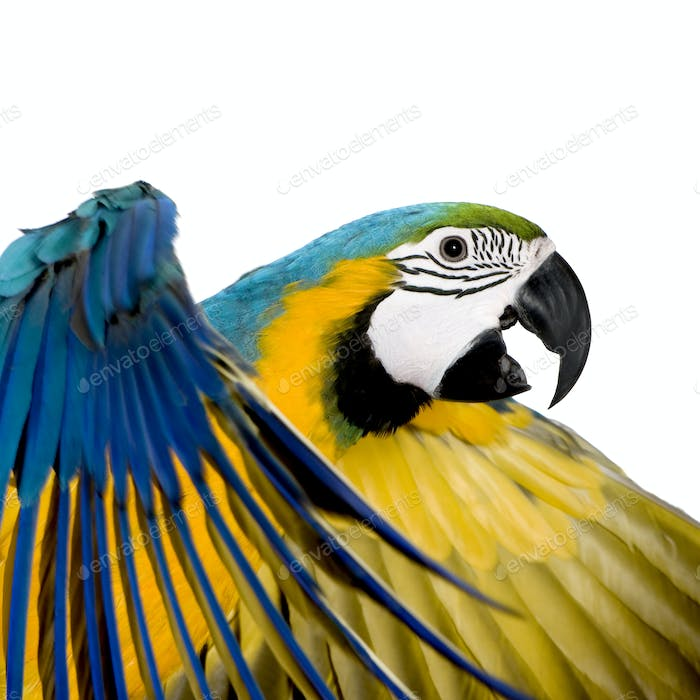 Thumbnail for Young Blue-and-yellow Macaw - Ara ararauna (8 months)