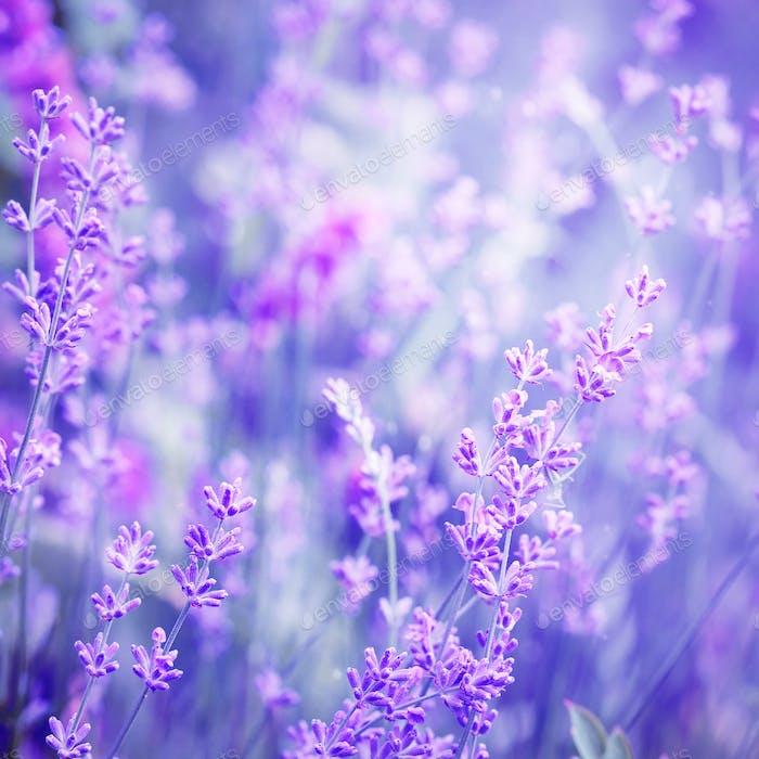 Lavender flower field, image for natural background, selective f