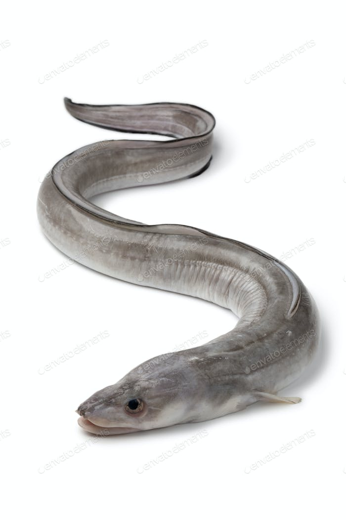 Fresh raw european conger eel