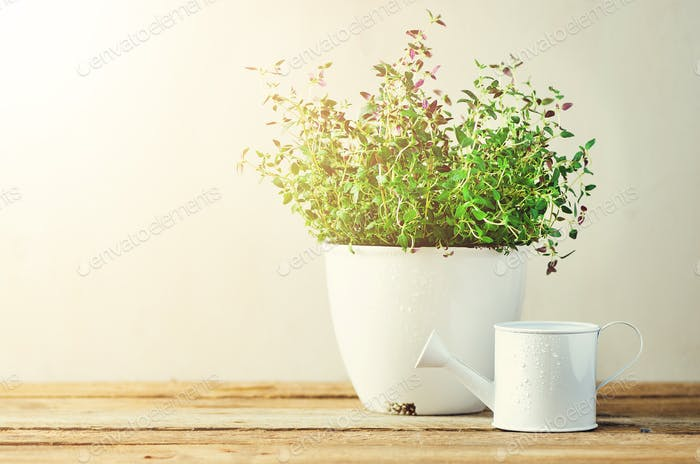 Fresh rosemary herb growing in pot on wooden background. Organic herbs with sunny leaks. Copy space